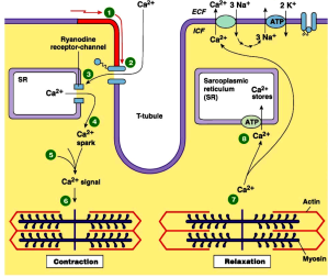 Calcium in muscle contraction and relaxation