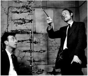 Watson (left) and Crick (right) with their double helix structure of DNA Retrieved from Clare College