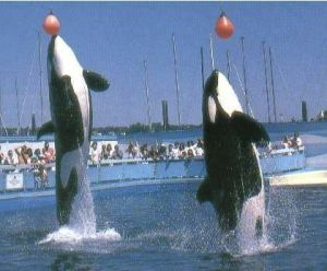 Haida II (left) and Tilikum (right) performing at SeaLand of the Pacific
