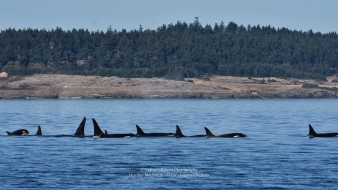 killerwhale2